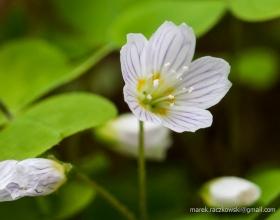 Babia Góra - kwiatek