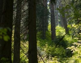 Babia Góra - ciemny las