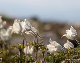 Babia Góra - kwiatki